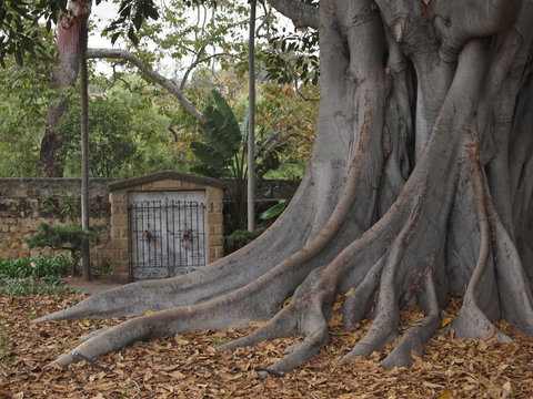 Moreton Bay fig tree (Ficus macrophylla) at the cemetery of the Old Mission of Santa Barbara, California, USA