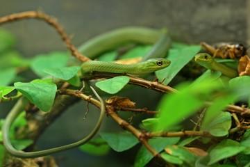 Zwei junge Raue Grasnattern (Opheodrys aestivus) im Alter von zwei Monaten