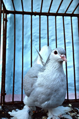 Breeding pigeons in the cage