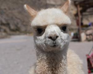 Alpaca Baby in Peru