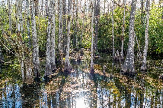 Cypress swamp along Loop Road in Big Cypress National Reserve, Everglades, Florida, USA