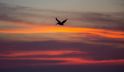 Brown pelican flying at sunset over the coastline of Punta Mita, Mexico