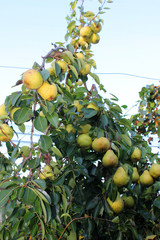 Ripe pears hanging on branch in orchard