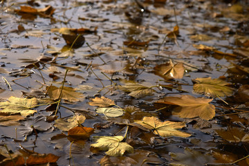 Yellow Leaves on a Water