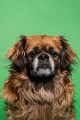 Little dog sitting in studio