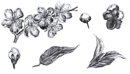 Hand drawn isolated charcoal pencil flowers of the pulm blossoms, buds and leafson a white background. Artwork set in vintage style