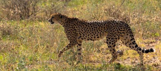 Gepard, Massai Mara