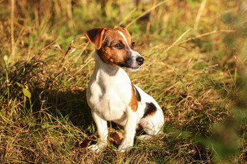 Jack Russell terrier sitting in low autumn grass, looking to side, afternoon sun shining on her.