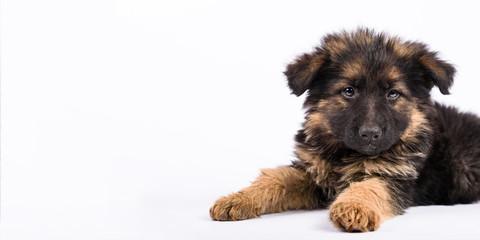 one german shepherd puppy posing on white background
