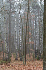 jesienny las brzozy