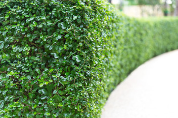 Perspective of green curve trimmed fence.Evergreen tree wall hedge. Wall mural