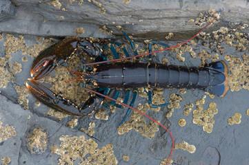 European Lobster (Homarus gammarus)/ Lobster on barnacle encrusted rock