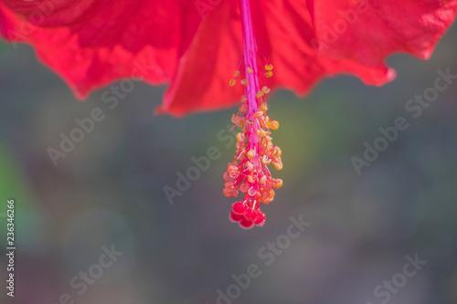 Hibiscus Flower China Rose Chinese Hibiscus Shoe Flower Hibiscus
