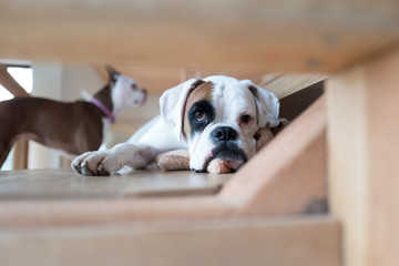 Portrait of boxer dog on floor