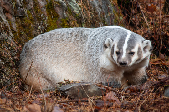 American Badger in the Fall