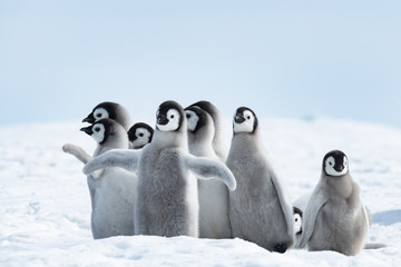 Papiers peints Antarctique Emperor Penguins chiks
