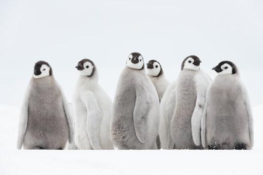 Emperor Penguin chiks