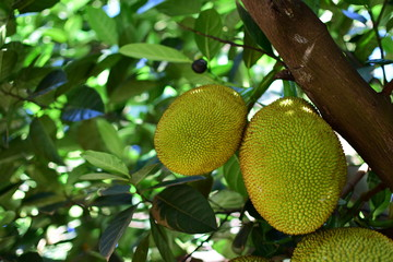 Jackfruit tree with jackfruit fruits on it