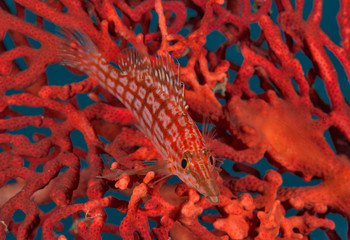 Long-nose hawkfish on coral