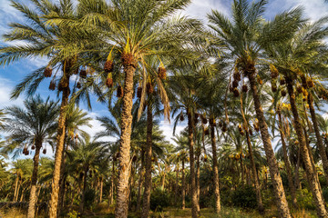 The biggest palm grove in Tunisia, Tozeur palmerie