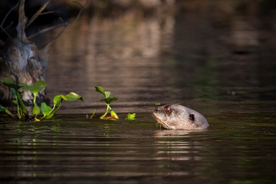 Giant otter (Pteronura brasiliensis) swimming in water, Pantanal, Mato Grosso do Sul, Brazil, South America