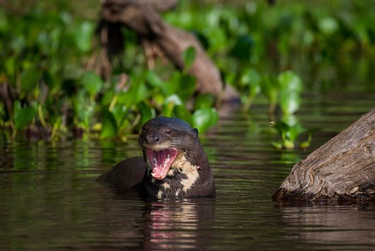 Giant otter (Pteronura brasiliensis) barks in water, open mouth, Pantanal, Mato Grosso do Sul, Brazil, South America