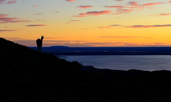 Guanaco (Lama guanicoe) at sunrise with red clouds at Laguna Amarga, Torres del Paine National Park, Ultima Esperanza Province, Chile, South America