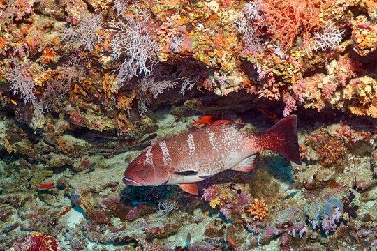 Blacksaddled coralgrouper (Plectropomus laevis) at the coral reef, Indian Ocean, Maldives, Asia