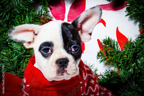 French Bulldog Christmas Jumper.Black And White French Bulldog Wearing A Red Christmas