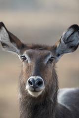 waterbuck head portrait