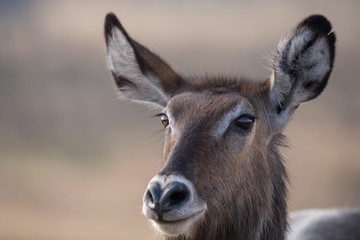 waterbuck head portrait
