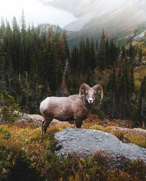 Bighorn sheep in mountains