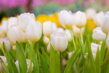 White and Yellow Tulip Flower in the garden. Beautiful bouquet of tulips. colorful tulips. tulips in spring at Nature background.