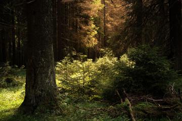 Sonnenstrahlen im Naturwald Harz