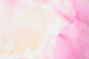 Sweet color lotus  in soft style for background