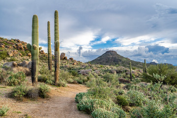 The trail runs by the Saguaros toward the mountain