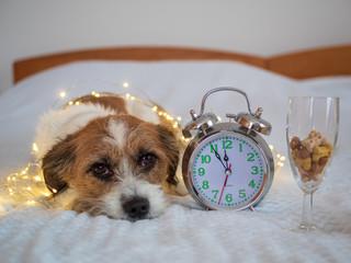 Silvester - Jack Russel Mischlingshund mit einem Wecker und einem Sektglas auf einem Bett