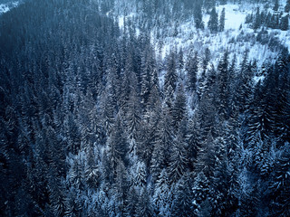 Aerial view from above of winter forest covered in snow. Pine tree and spruce forest top view. Cold snowy wilderness drone landscape photo. Moody blue color and tone. Quadcopter flies above woods