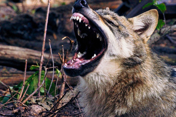 Wild young wolf with open mouth