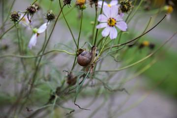 Flea after snail