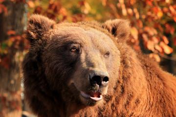 Fototapete - Bear's portrait in the woods