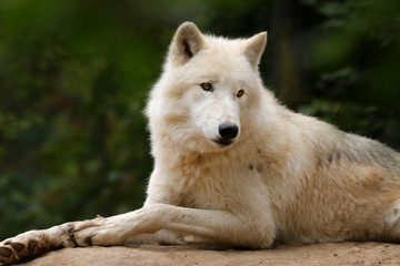 Poster - Arctic wolf in nature