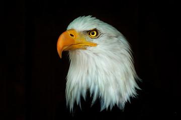 Fototapete - Portrait eagle, Haliaeetus leucocephalus, on the black background