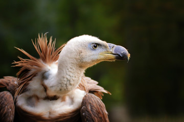 Fototapete - Portrait of a vulture living in captivity