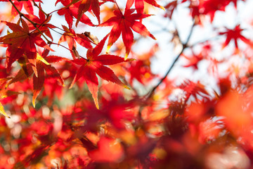 Selective Focus of Maple leaf red in autumn season time with copy space on blurred nature background