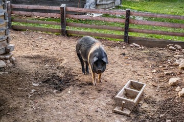 a pig with black and white in the yard to the country