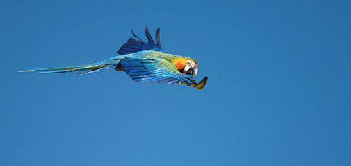 Blue and gold macaw (Ara ararauna) flying. Blue and yellow wild parrot, image with macaws naturally isolated against a blue sky