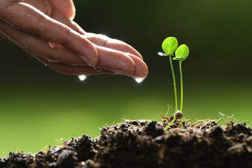 Human's hand watering twins young plant on nature background