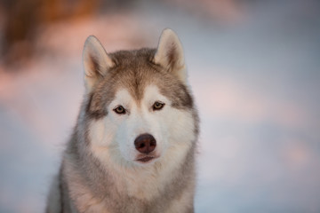 Close-up portrait of cute siberian Husky dog sitting on the snow in winter forest at sunset