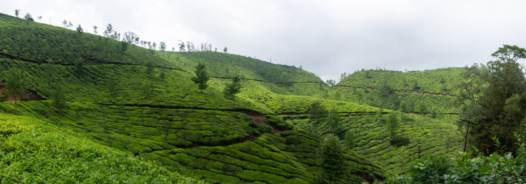 Plantations de thé à Munnar, Kerala, Inde
